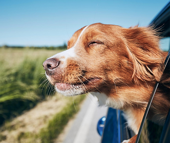 dog in car 7.png