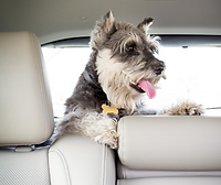 dog in car 2.png