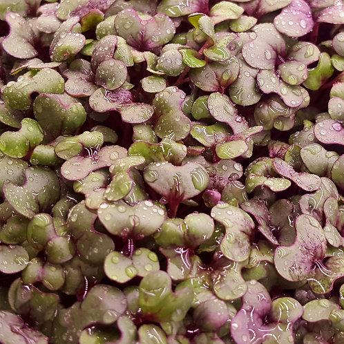 Purple Kohlrabi 2.5oz