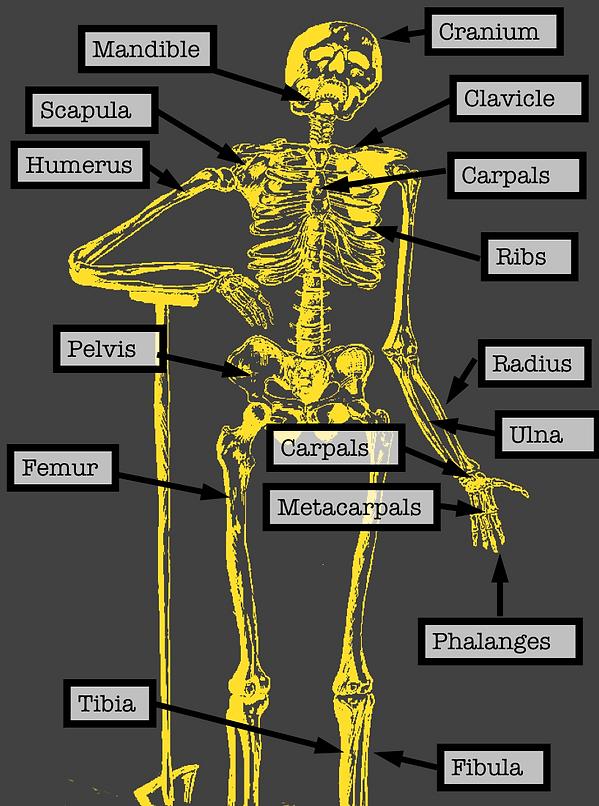 Yellow skeleton.png