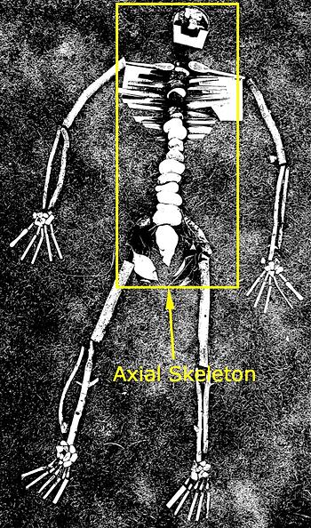 Axial skeleton.png