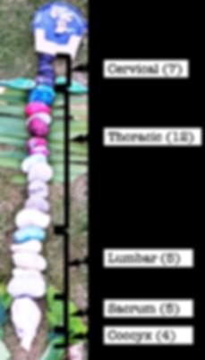 vertebral column.png