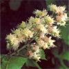 Floral White Chesnut – Para obsessão, pensamentos repetitivos