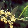 Floral Olive – Para exaustão após esforço mental ou físico