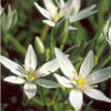 Floral Star Of Bethlehem – Para combater traumas físicos