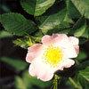 Floral Wild Rose – Para Falta de ambição e apatia