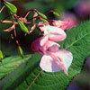 Floral Impatiens - Para irritação e nervosismo