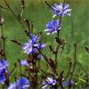 Floral Chicory – Para pessoas excessivamente controladoras