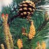 Floral Pine – Para aqueles que culpam a si mesmos