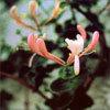 Floral Honeysuckle – Para aqueles que vivem no passado