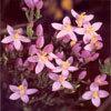 Floral Centaury – Para quem não sabe dizer não aos outros