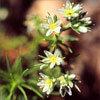 Floral Sclerantus – Para dificuldades em se decidir