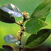 Floral Holly – Para ausência de amor