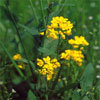 Floral Mustard – Para tristeza profunda sem motivo aparente