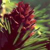 Floral Larch – Para falta de confiança