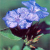 Floral Cerato – Para combater a baixa autoestima