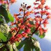 Floral Red Chestnut – Para aqueles que temem pelo bem estar dos outros