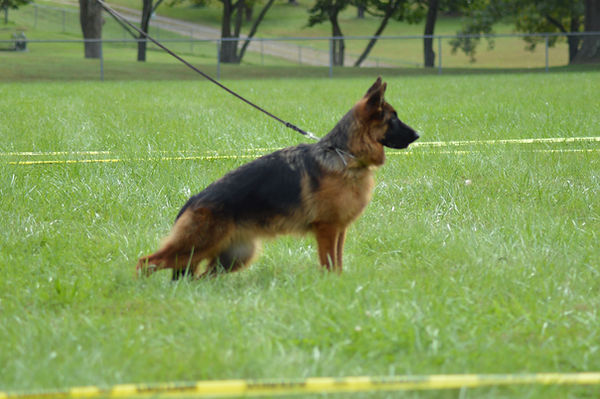 Competitive German Shepherd