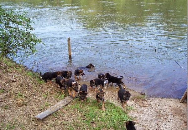 German Shepherd Puppies Swimming