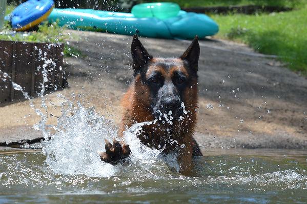 German Shepherd Swimming