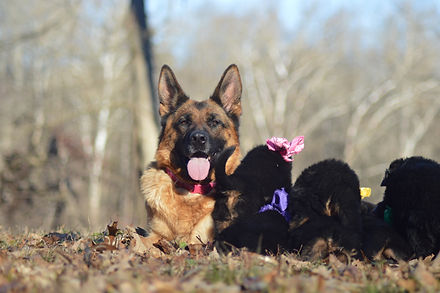 German Shepherd with Puppies