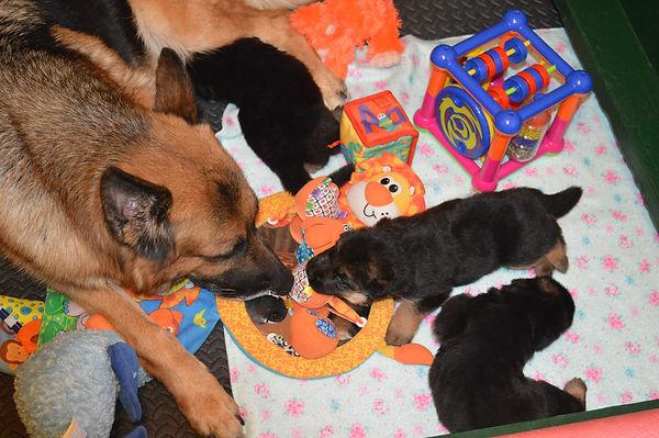 German Shepherd Mom and Puppies
