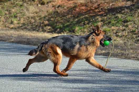 German Shepherd Running with Ball