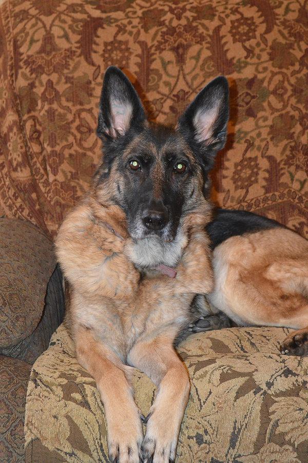 German Shepherd Dog Cute Ears