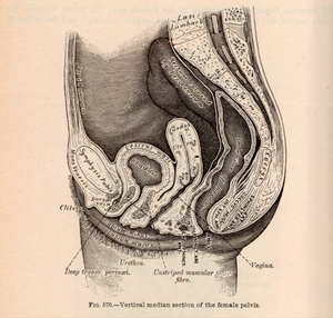 Female Pelvic Bowl and Organs