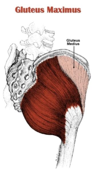 Gluteus Maximus,