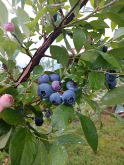 blueberries 2019 2