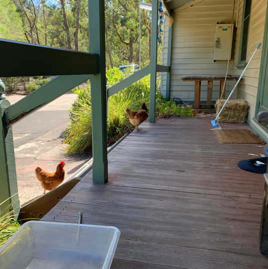 Our free range chickens exploring the deck