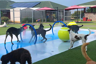 dogs playing in a dog spray park