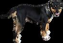 big black dog standing