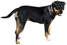 large black dog standing