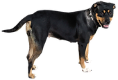 huge dog standing
