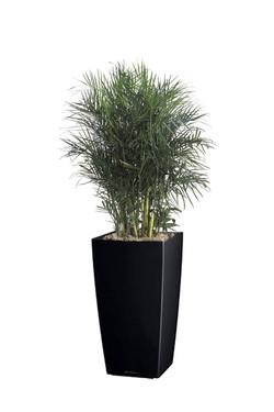 BambooPalm2