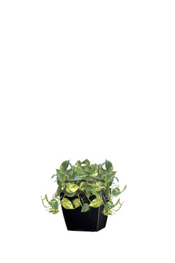 GoldenPothos2Short