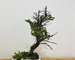 Colorado Blue Spruce 8