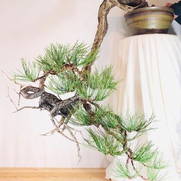 Ponderosa Pine 12