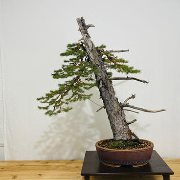 Engelmann Spruce 1