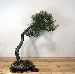 Ponderosa Pine 7