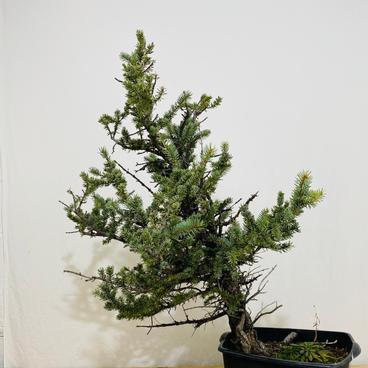 Colorado Blue Spruce 6