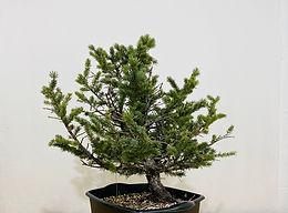 Colorado Blue Spruce 7