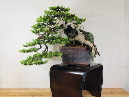 Colorado Blue Spruce 1