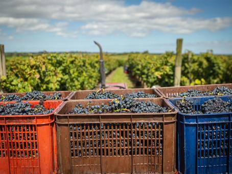 Uruguay reportó un crecimiento del 6,5% en volumen de uva frente al 2020