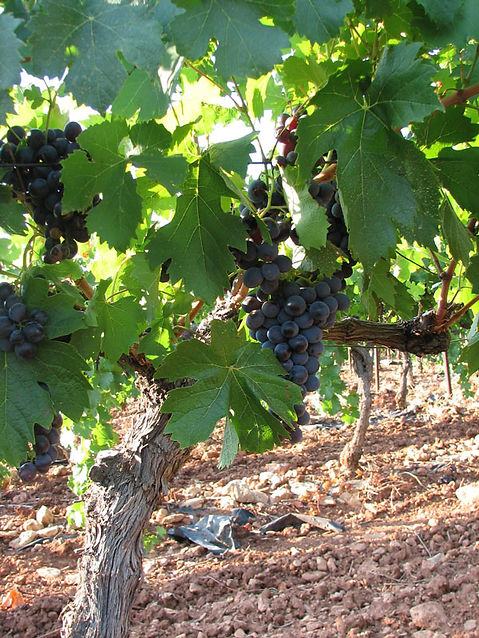 Vine vineyard Lolice