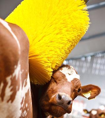 Cow-using-swinging-cow-brush-9905_edited
