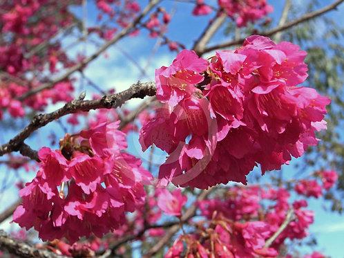 Prunus campanulata - Formosan Cherry
