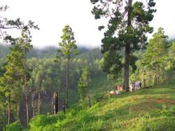 Pine forests in El Norte